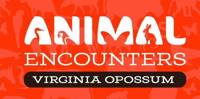 Animal Encounters: Virginia Opossum