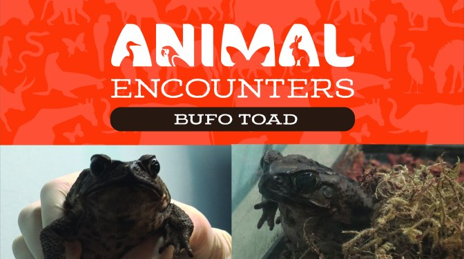 Animal Encounters: Bufo Toad