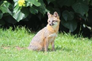 red fox sitting on grass